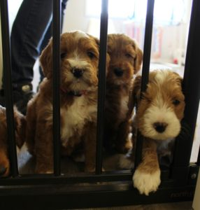 Oregon Australian Labradoodles puppies now