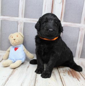 black Australian Labradoodle puppies best breeder Oregon Washington