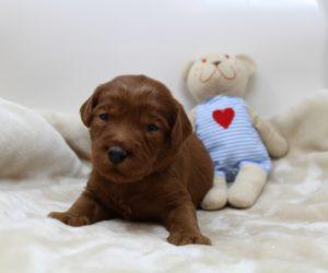 Washington Labradoodle puppy breeders Oregon