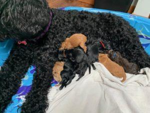 Oregon labradoodle puppies