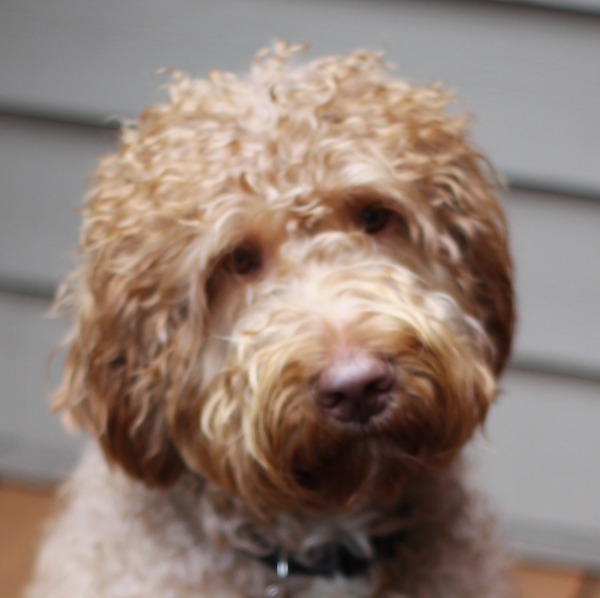Labradoodledoo's McCoy (Leo the Lion)